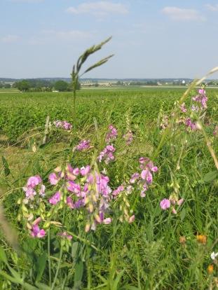 fleurs et vigne (3)
